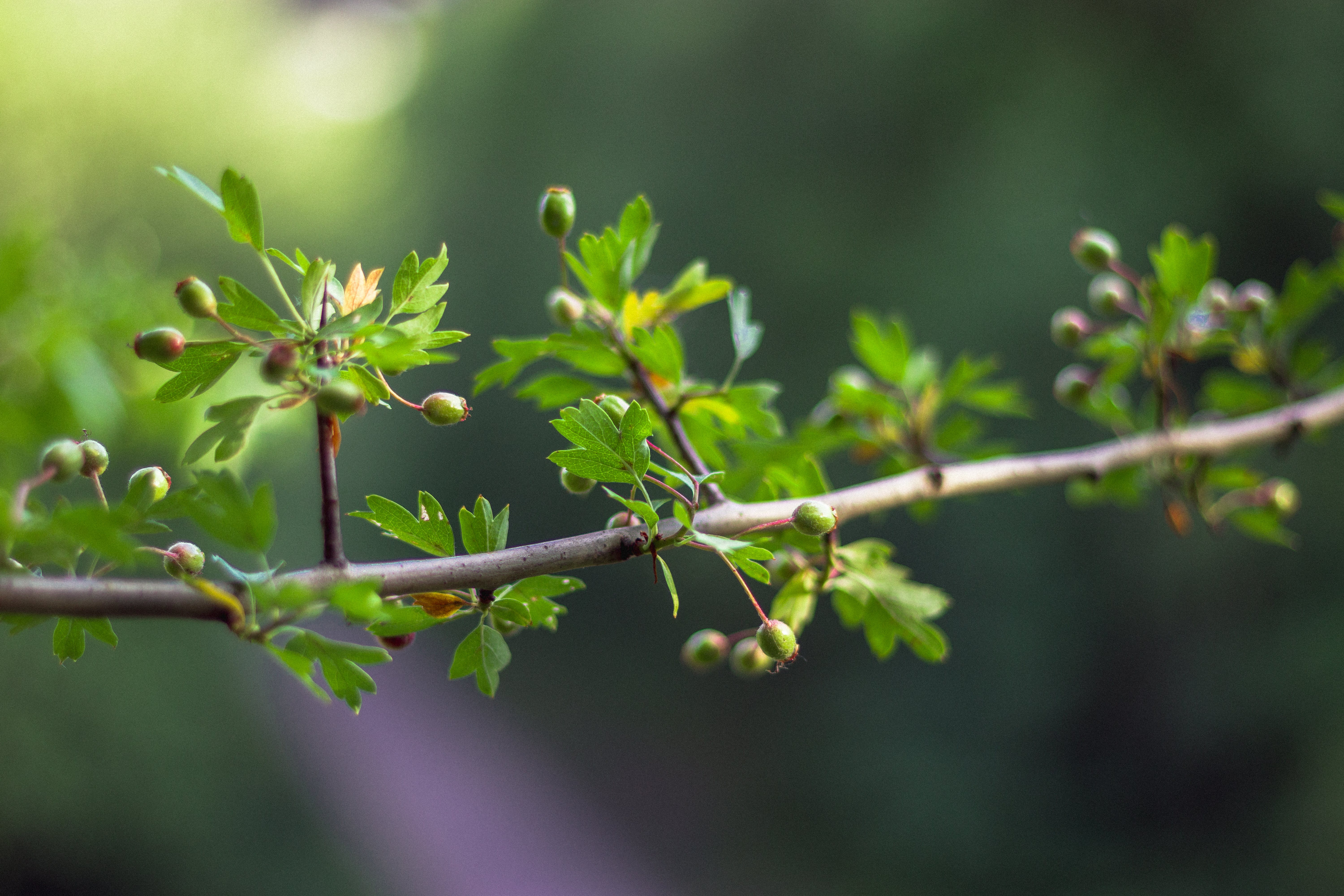 Green Leafed Plant With Flower Buds