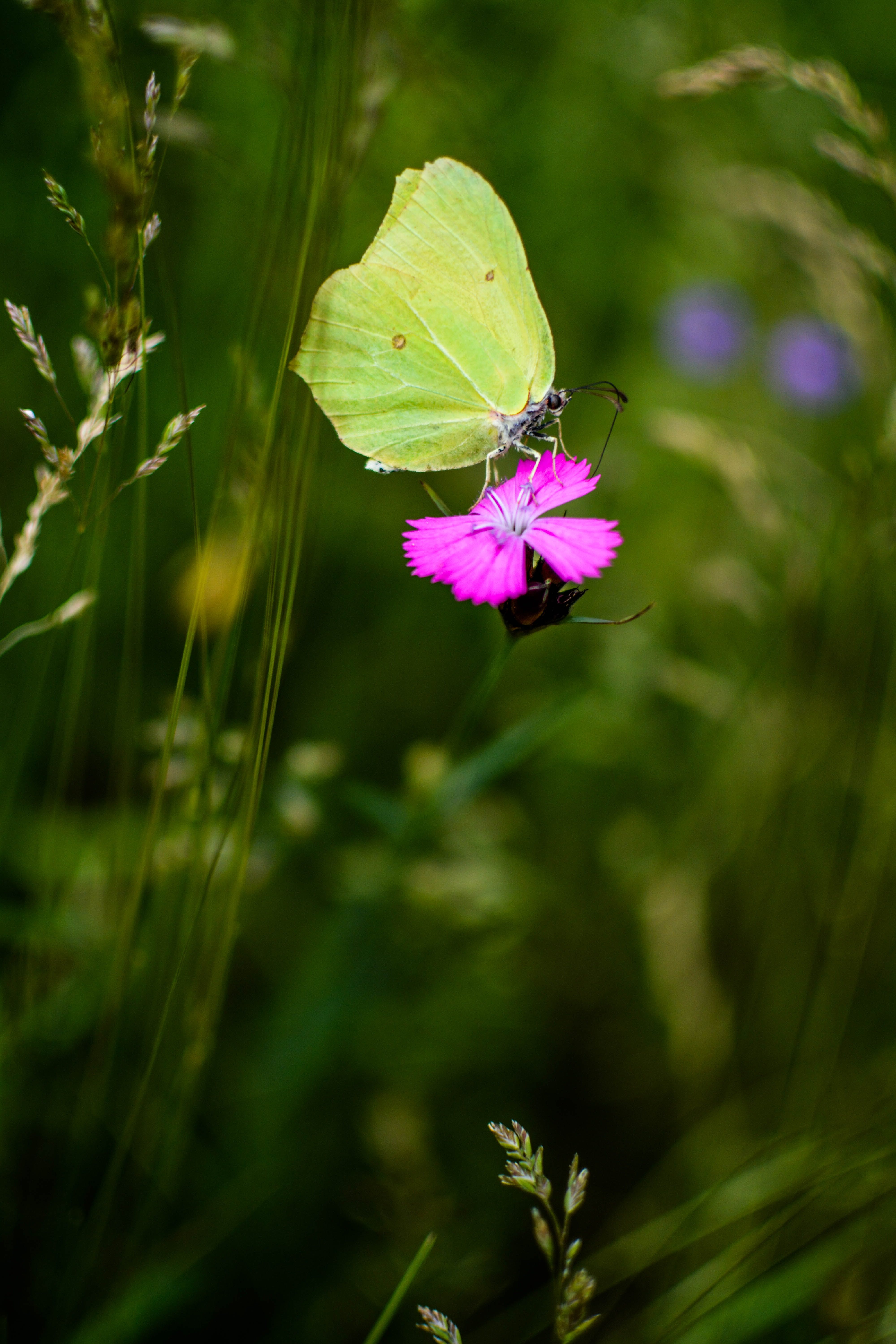 Yellow Surfer Butterfly Perched on Pink Petaled Flower