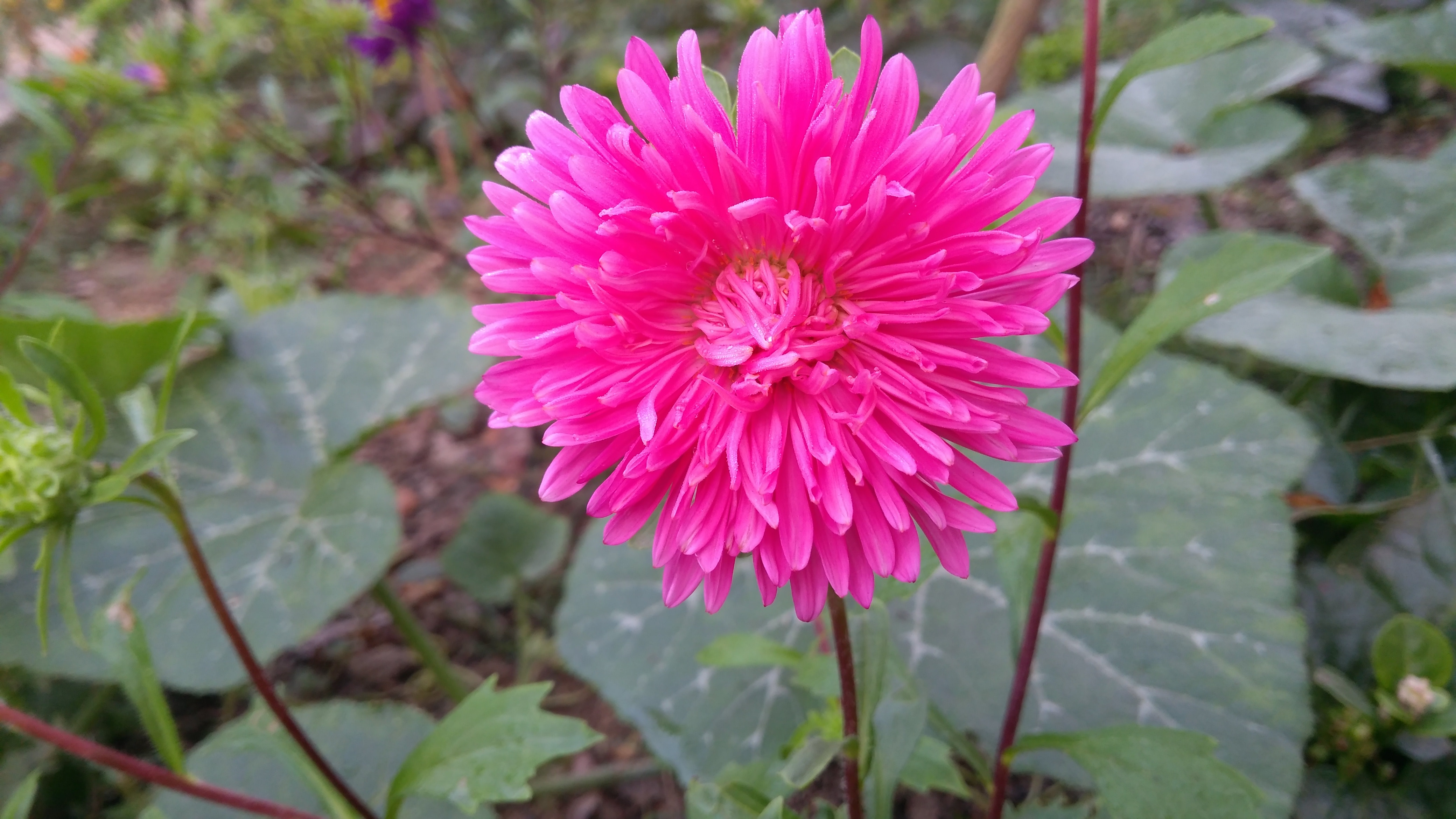 Free Stock Photo Of Aster Aster Flower Baby Pink