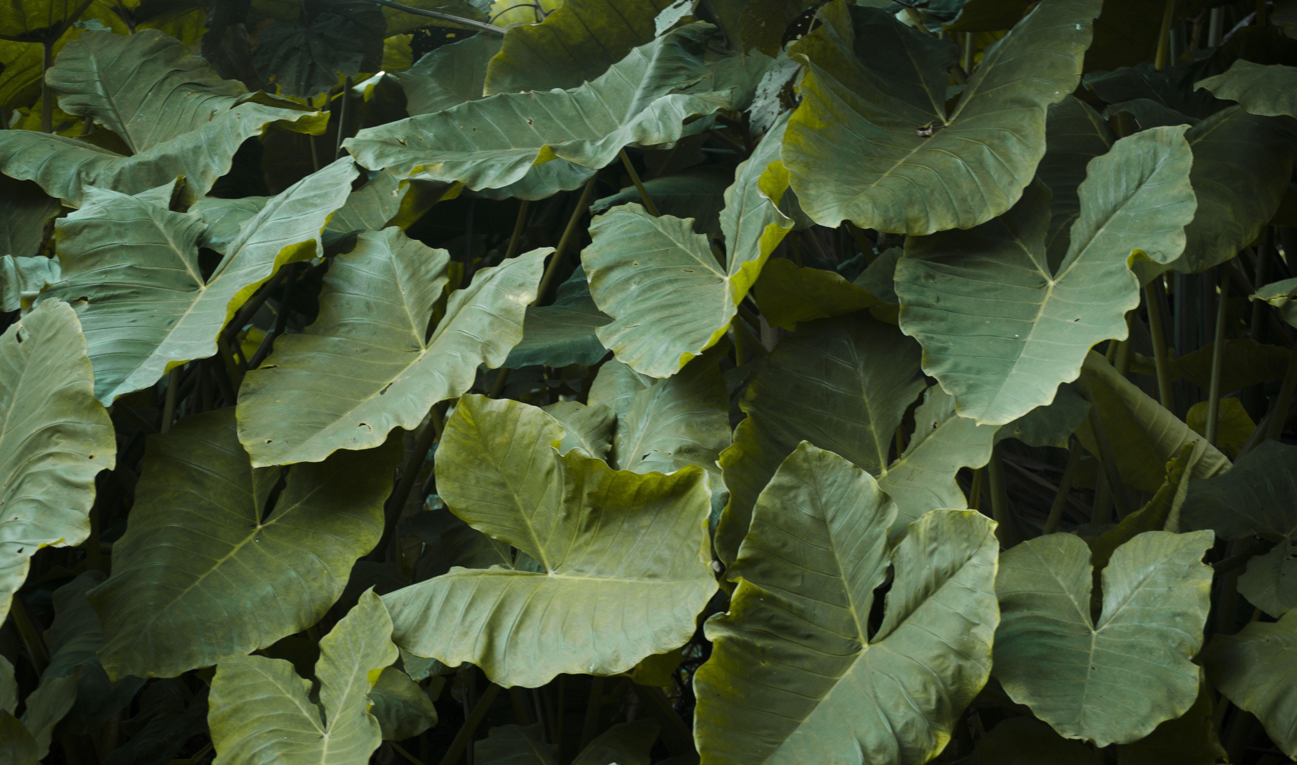 Free stock photo of natural, hojas