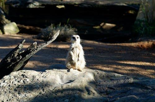 Free stock photo of meerkat, zoo