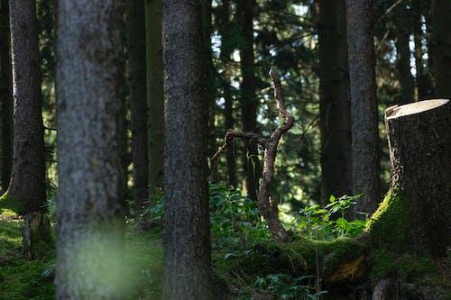 のどか, トランク, 成長, 木の無料の写真素材