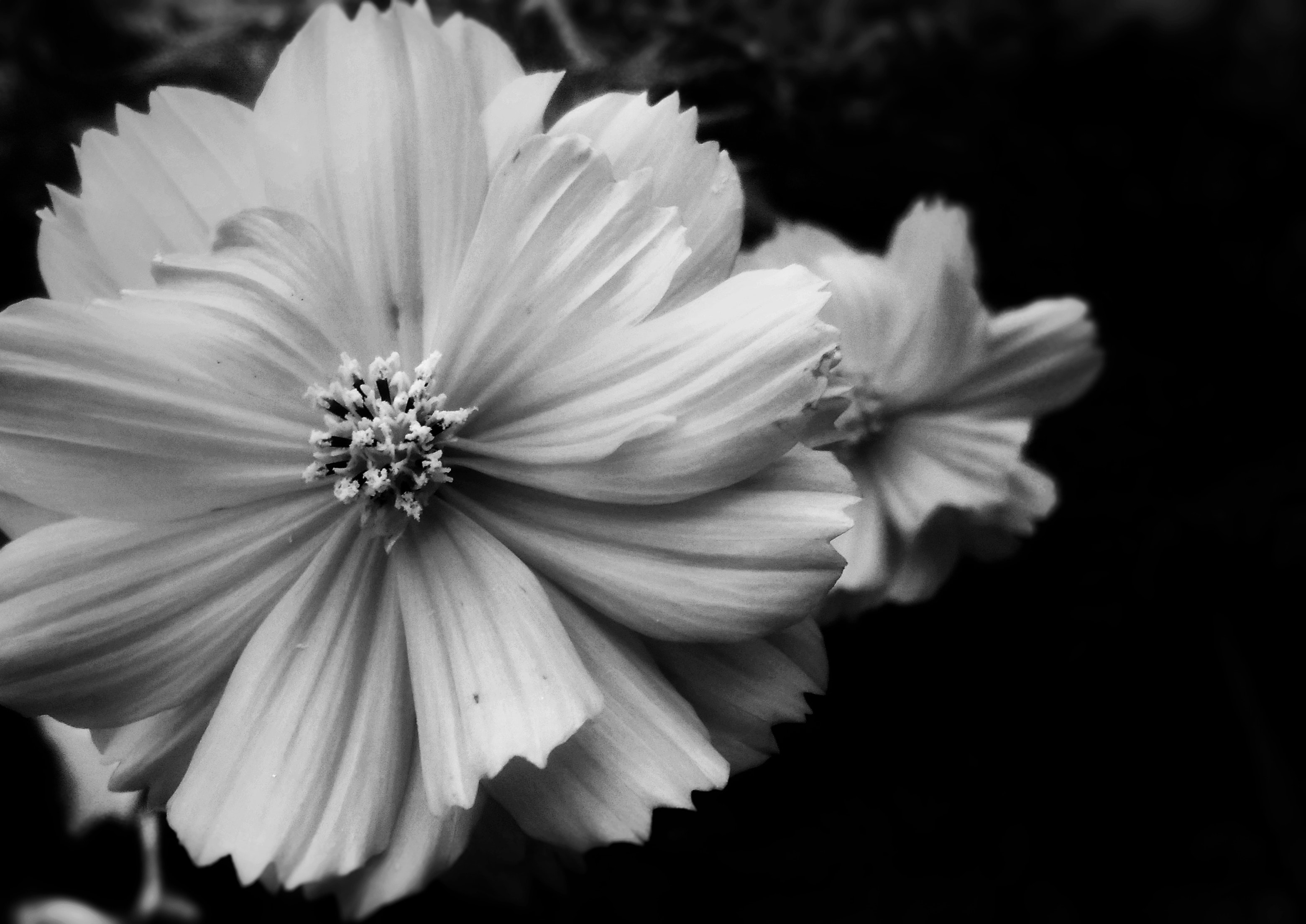 Free Stock Photo Of Beautiful Flowers Vintage