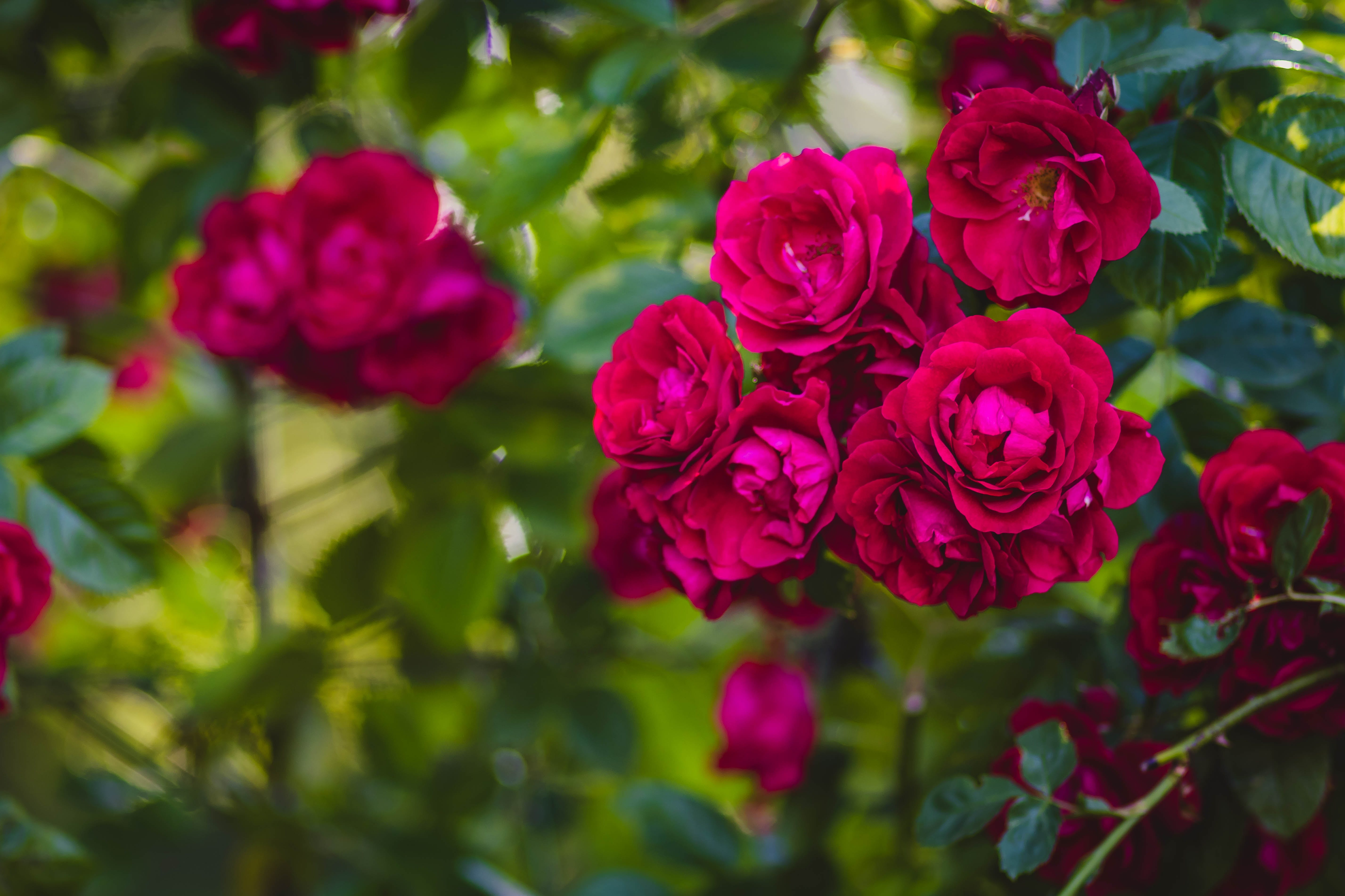 Selective Focus of Pink Rose Flowers