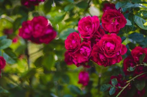 คลังภาพถ่ายฟรี ของ กลีบดอก, การตกแต่ง, กำลังบาน, ช่อดอกไม้