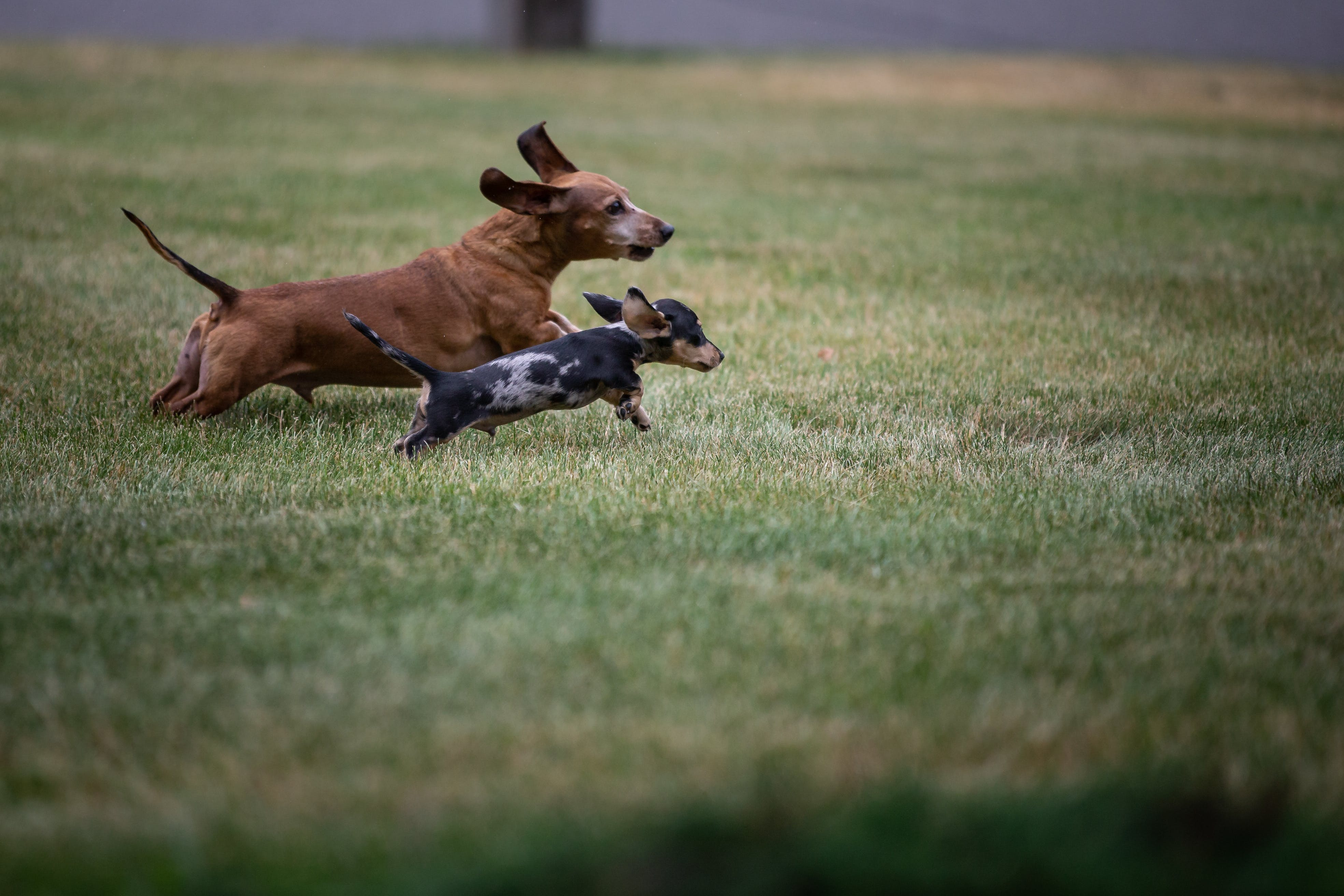 Free stock photo of dachshund, dogs, exercise, happiness