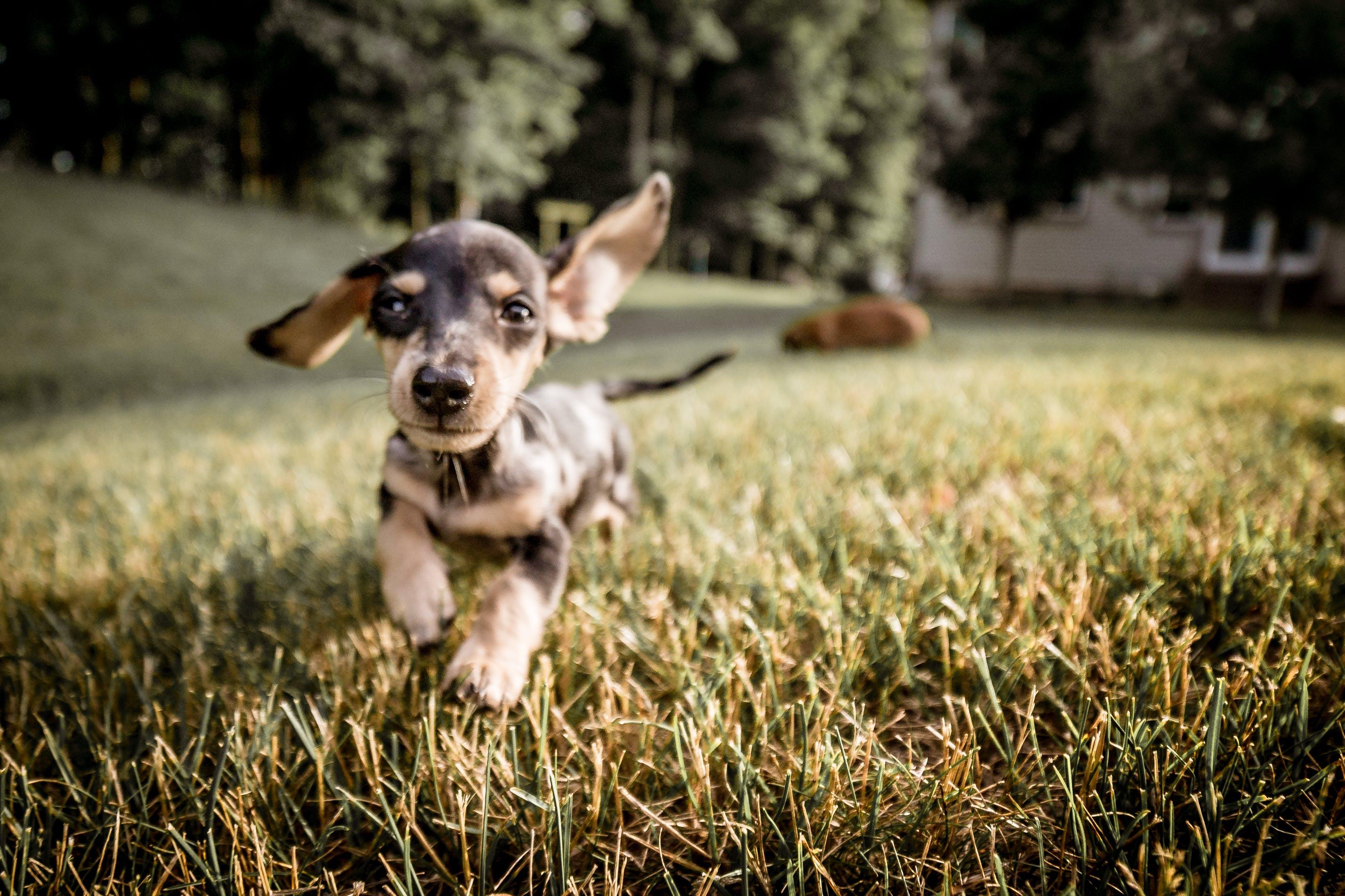 Free stock photo of dachshund, dog outside, fun, happiness