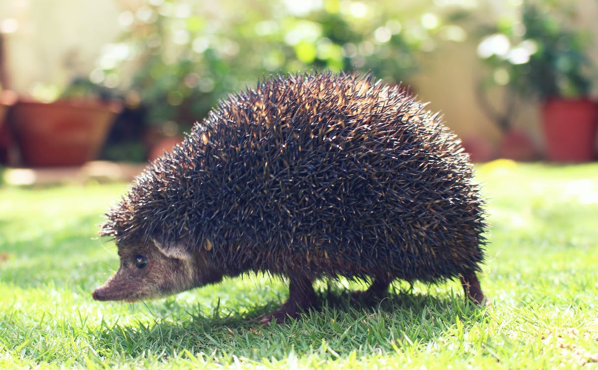 Closeup Photography of Brown Hedgehog on Green Grass