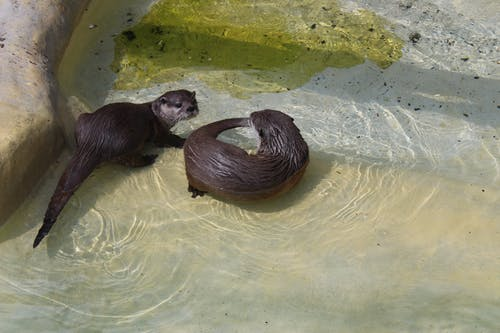 Free stock photo of animals, nature, otter