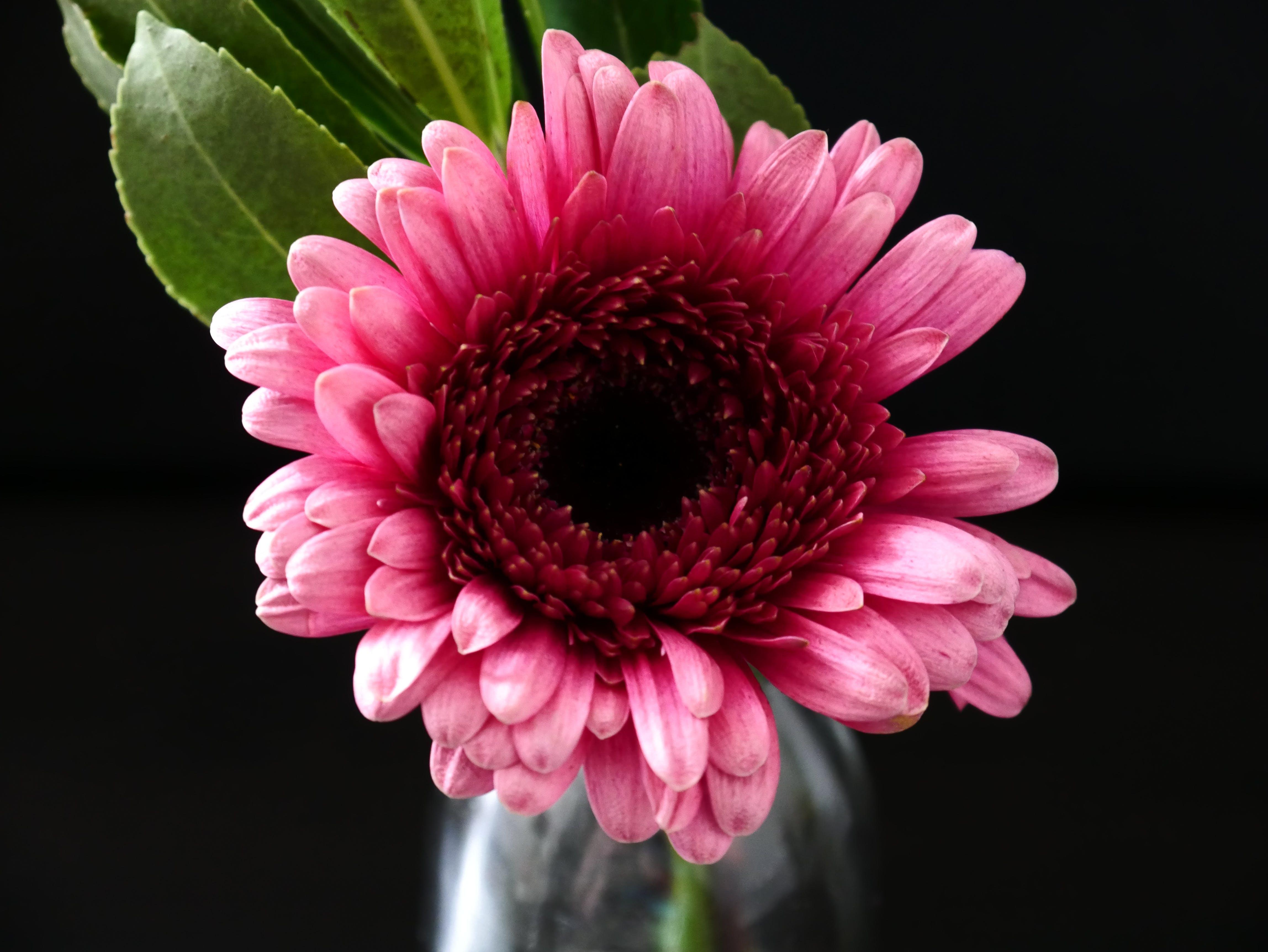 Close-Up Photography of Pink Gerbera
