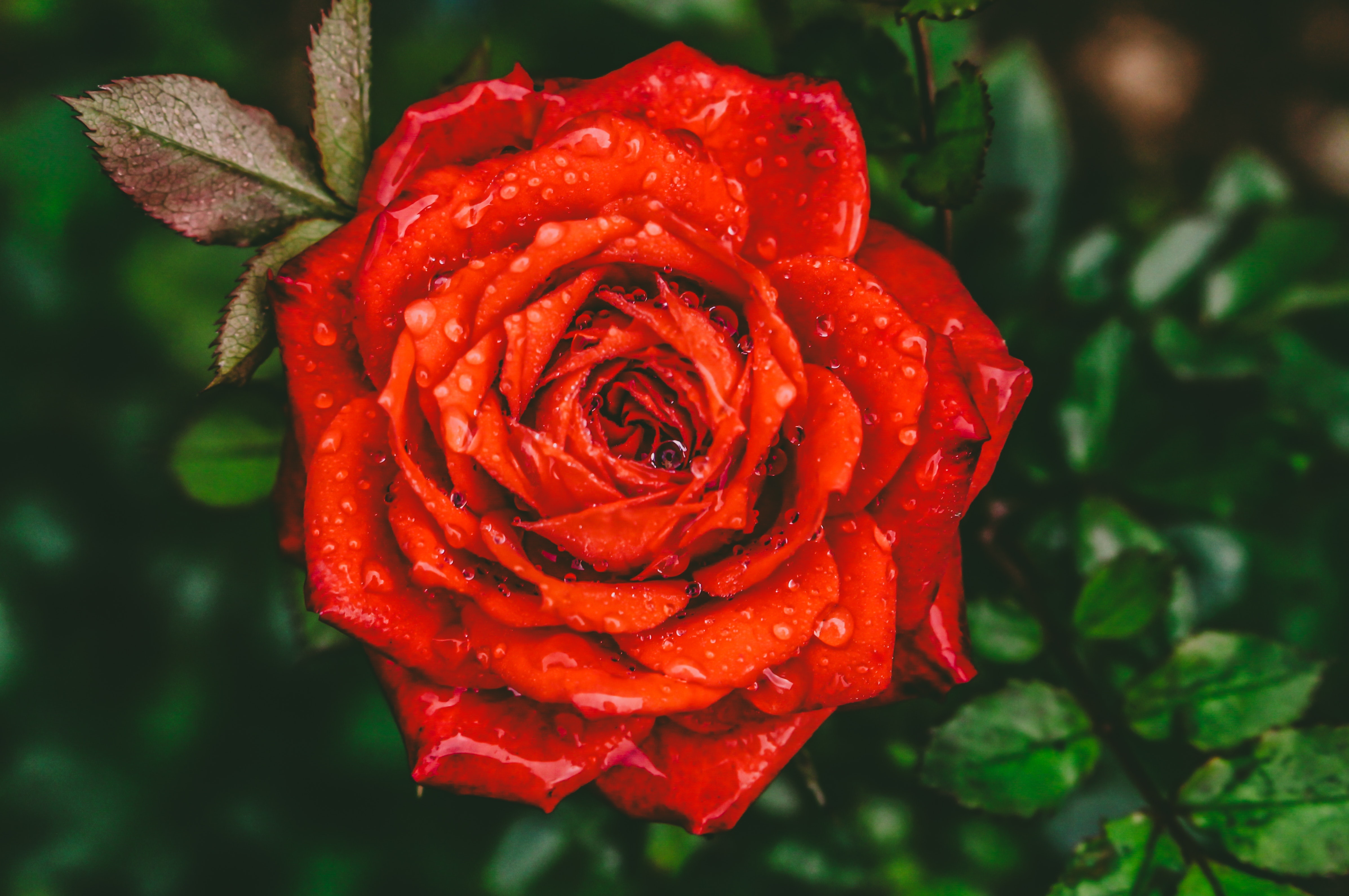 Close Up Photography Of Red Rose Flower With Water Drops