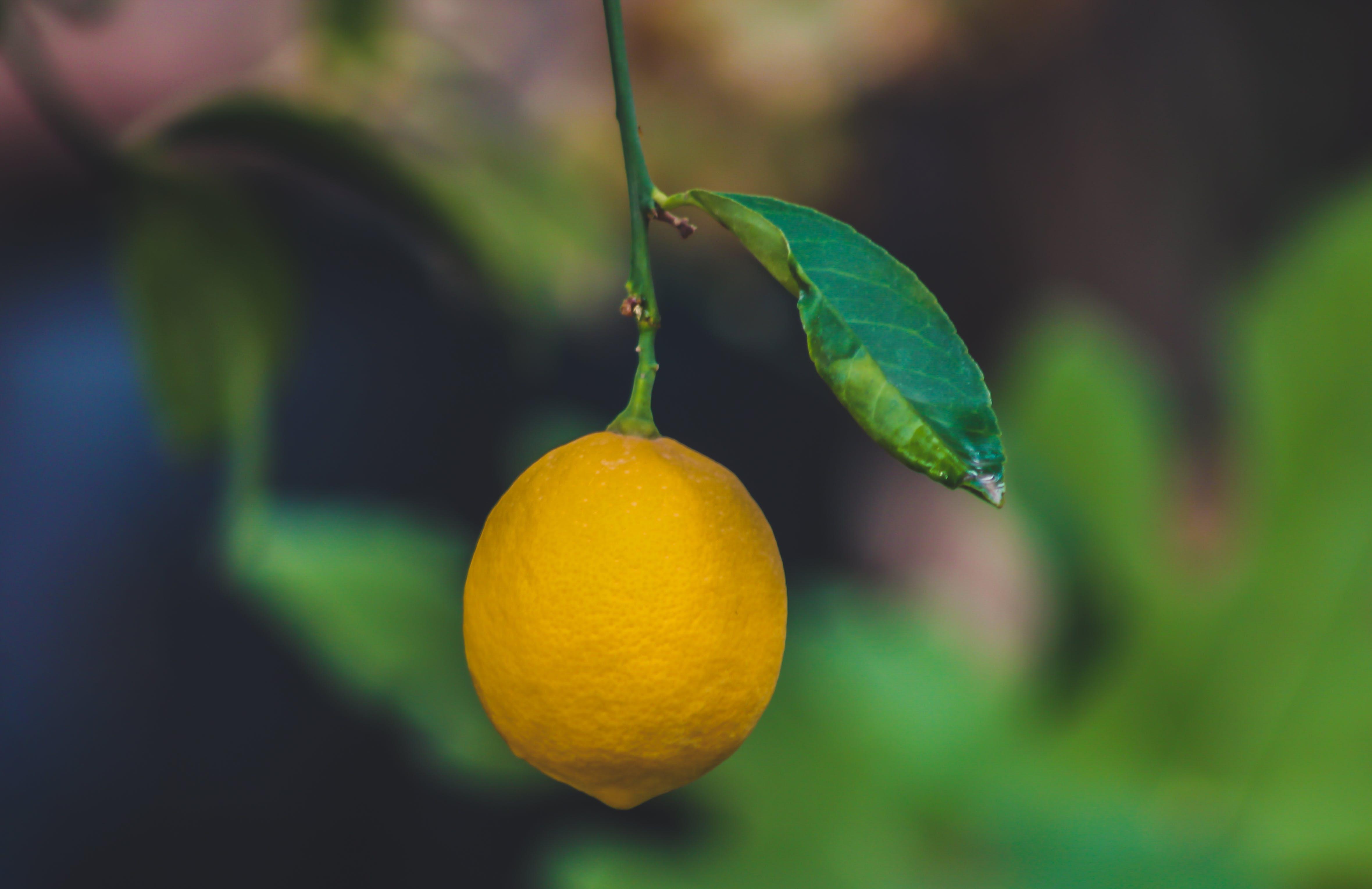 Focus Photo of a Ripe Lemon Fruit