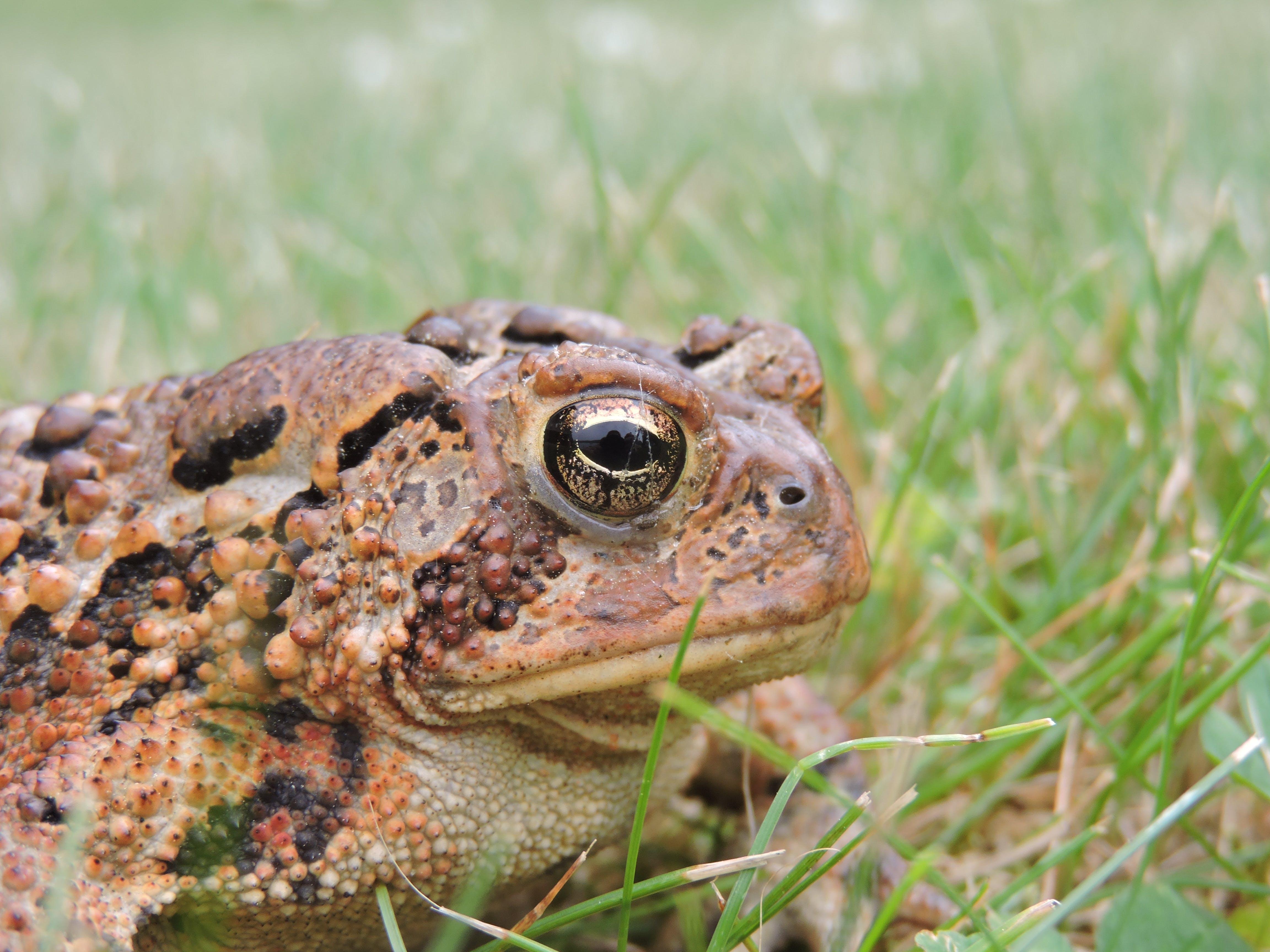 Free stock photo of animal, eye, toad, wildlife