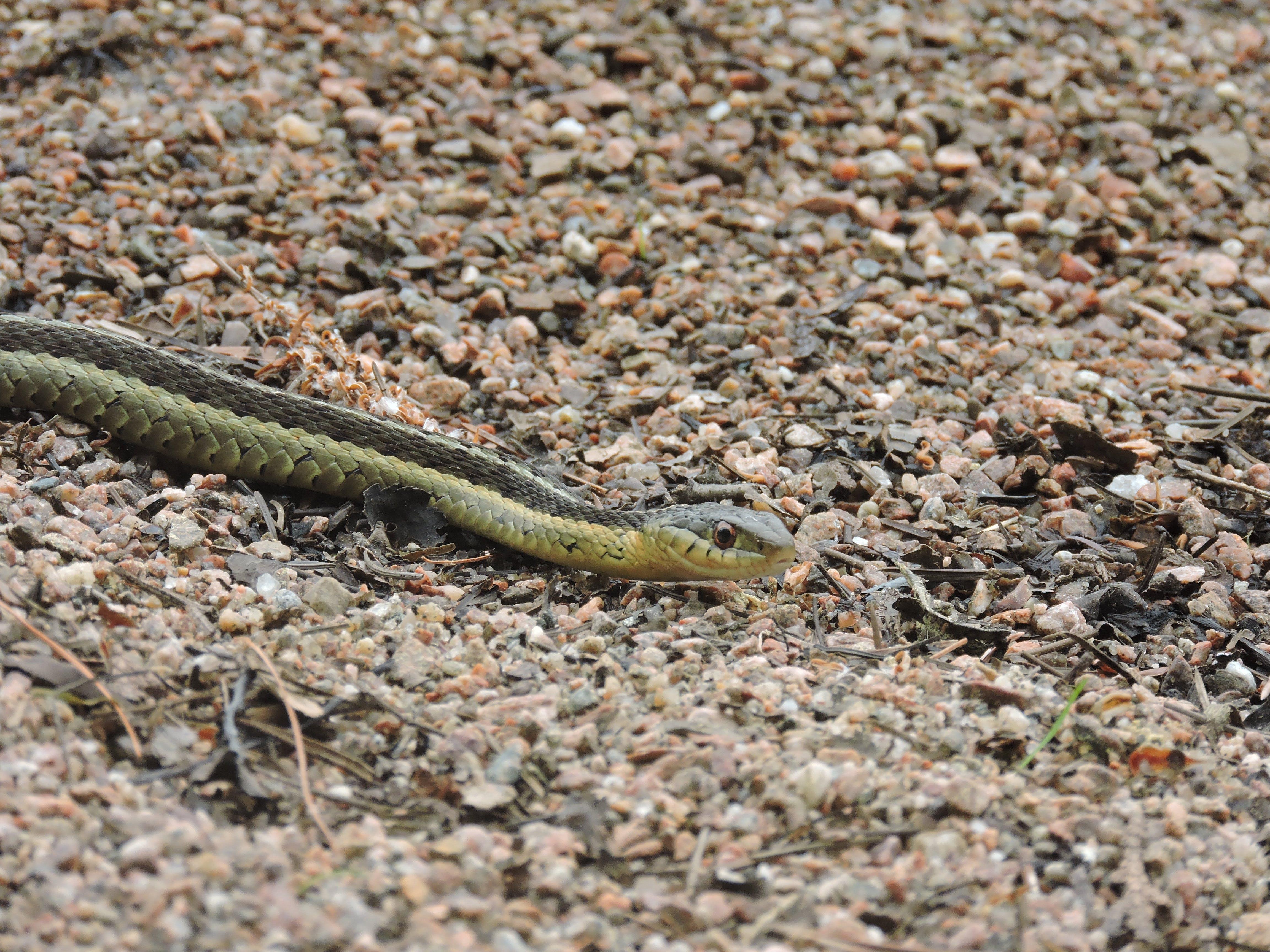Free stock photo of animal, snake, wildlife