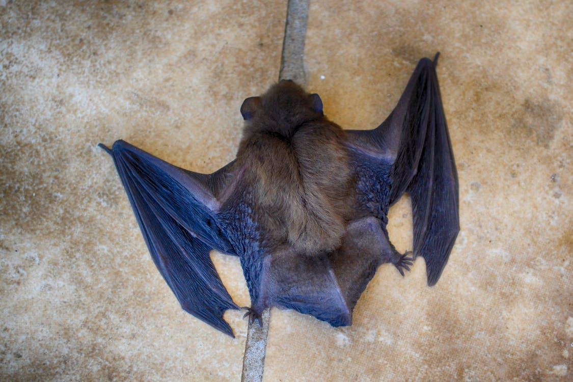 Free stock photo of animal, bat, close up