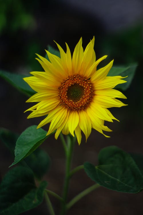 Selective Focus Photography Of Yellow Sunflower