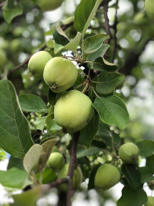 Free stock photo of apple, apple tree, green