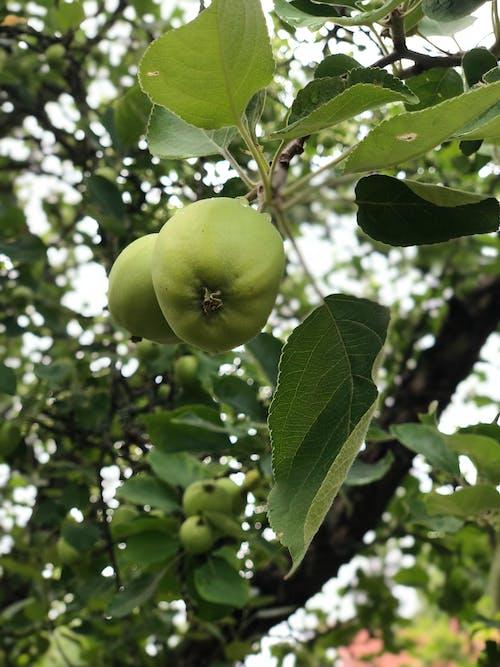 Free stock photo of apple, green, summer