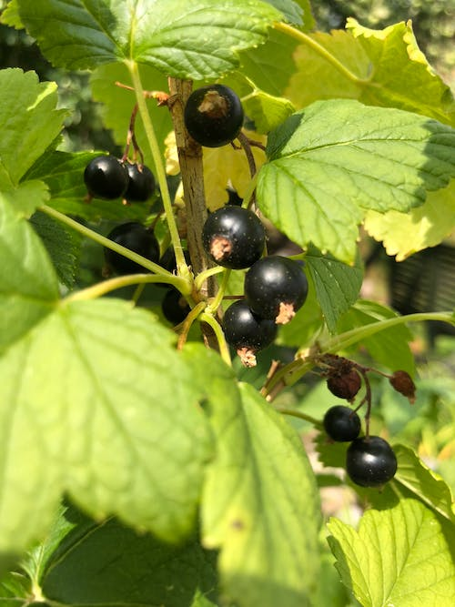 Free stock photo of currant, fruits