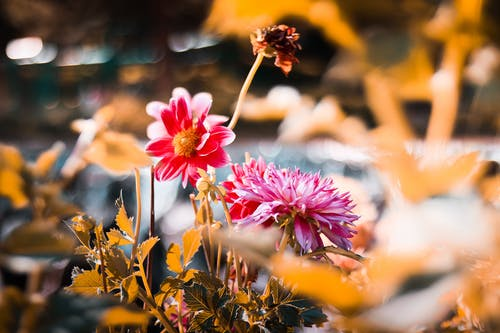 Shallow Focus Photography Of Pink And Red Petaled Flowers
