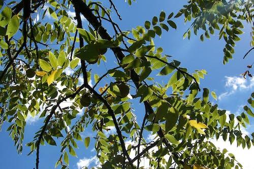 Δωρεάν στοκ φωτογραφιών με background, γαλάζιος ουρανός, δέντρο, καρπός