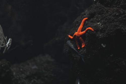 オレンジ, ダーク, ヒトデ, 岩の無料の写真素材