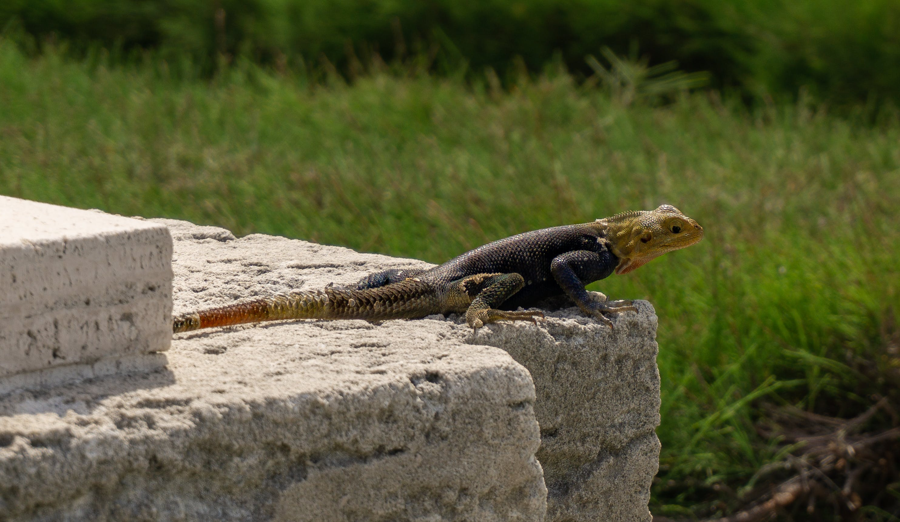 Free stock photo of animal, animals, lizard, miami