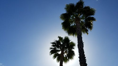 Free stock photo of palm trees, southern california