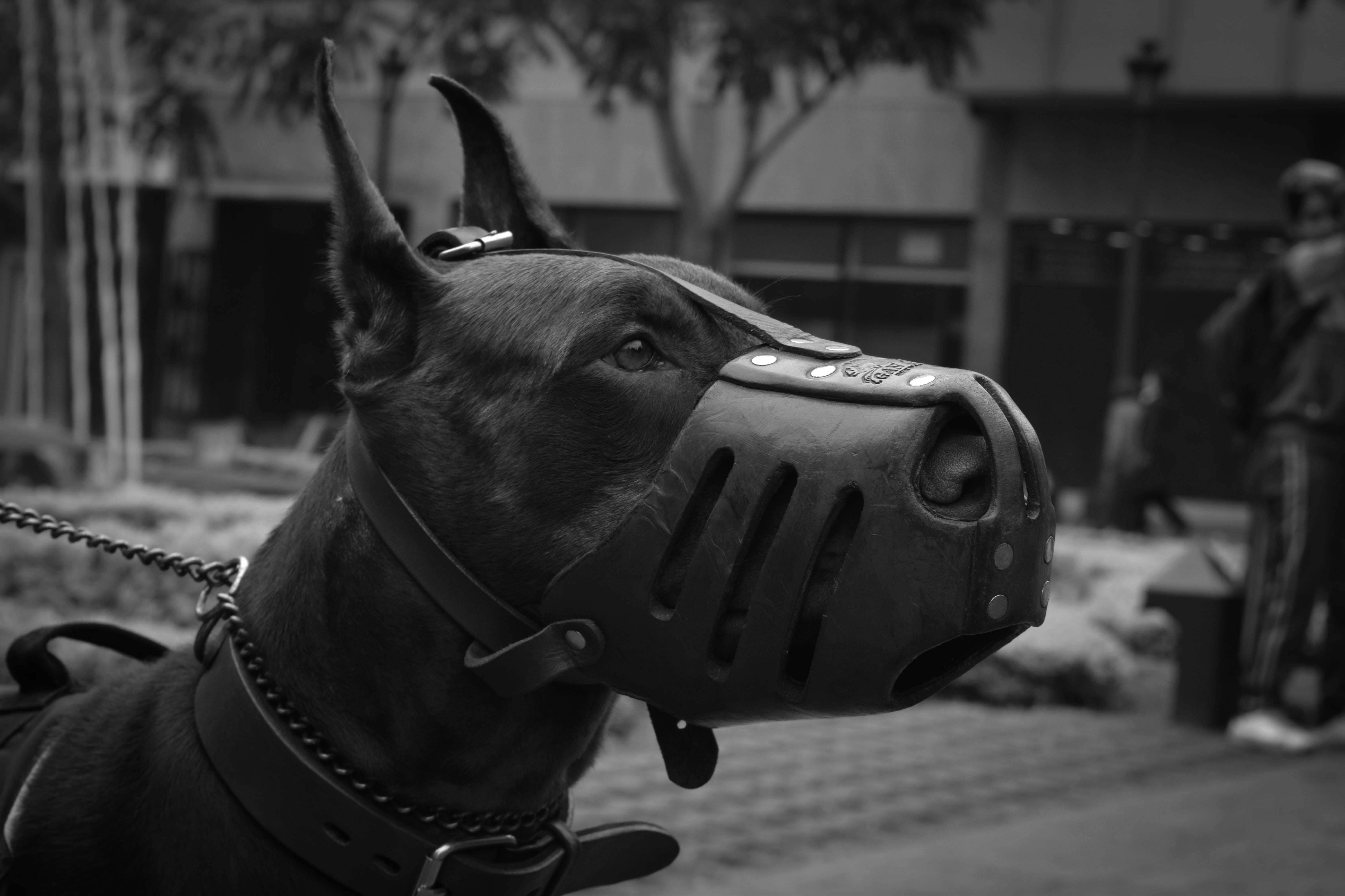 Close-Up Photo of Doberman Pinscher With Black Muzzle