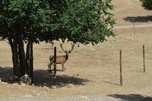 Free stock photo of ciervo, cuernas, finca