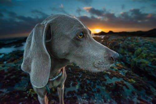 Бесплатное стоковое фото с веймаранер, голубиная точка, животное, милый