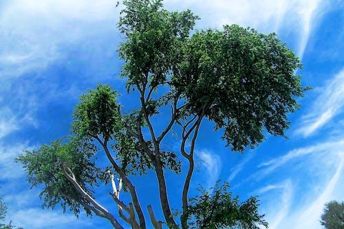 Δωρεάν στοκ φωτογραφιών με γαλάζιος ουρανός, δέντρο, κορυφή δέντρου, ουρανός