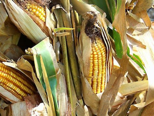 Δωρεάν στοκ φωτογραφιών με αγρόκτημα, αυτιά του καλαμποκιού, καλαμπόκι, φύση