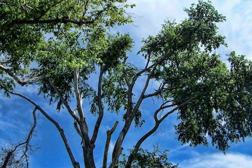 Δωρεάν στοκ φωτογραφιών με background, γαλάζιος ουρανός, δέντρα, κορυφή δέντρου