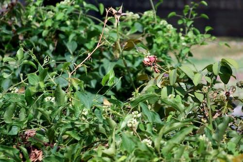 Δωρεάν στοκ φωτογραφιών με αποξηραμένα άνθη, θάμνος, ξηρασία, ξηρός