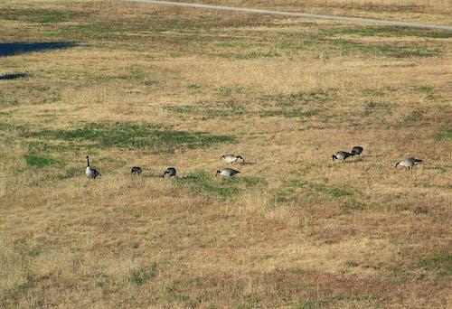Δωρεάν στοκ φωτογραφιών με #άγρια ζωή, γήπεδο, ζώα, καναδικές χήνες