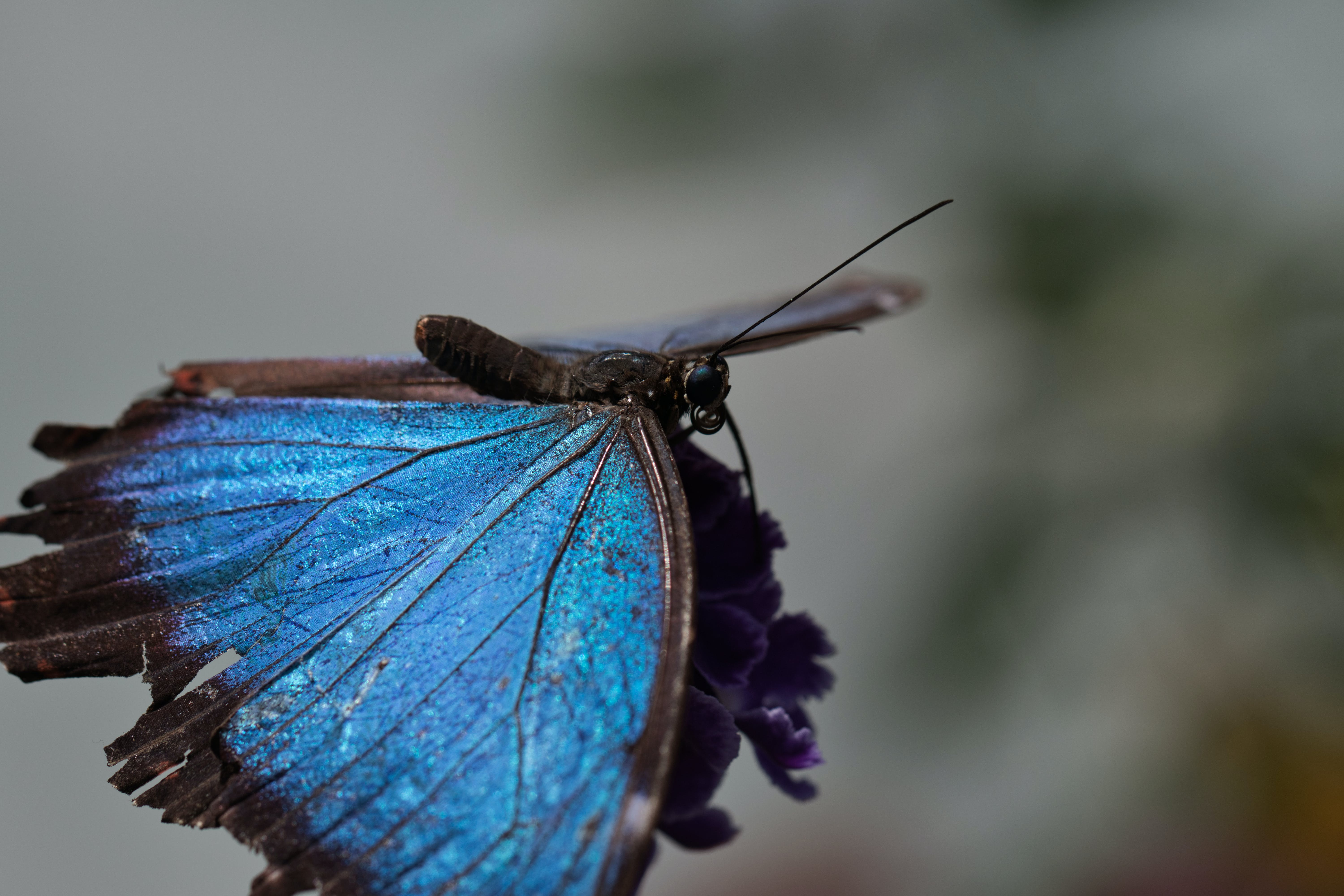 Free stock photo of blue monarch, butterfly on a flower, macro