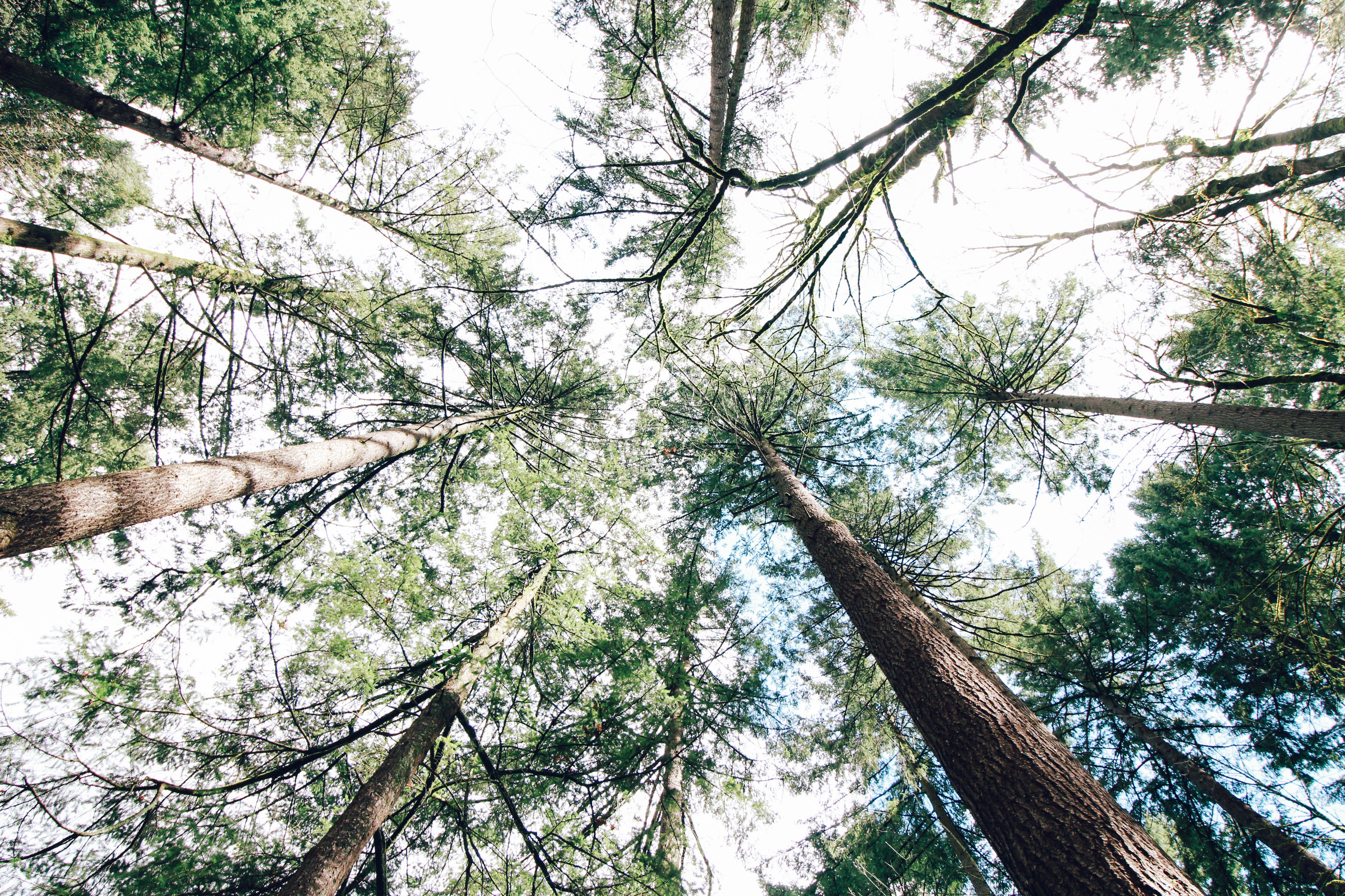 Free stock photo of canopy, conifer, coniferous, forest