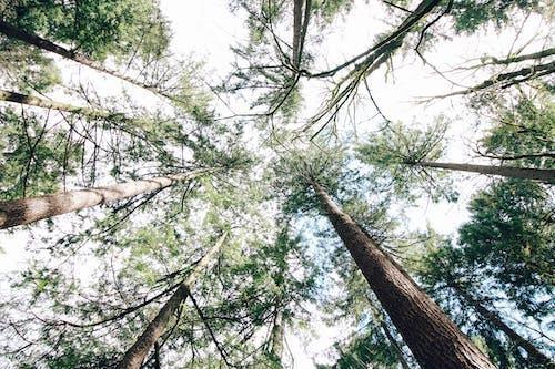Foto profissional grátis de árvore, árvores, árvores altas, cobertura
