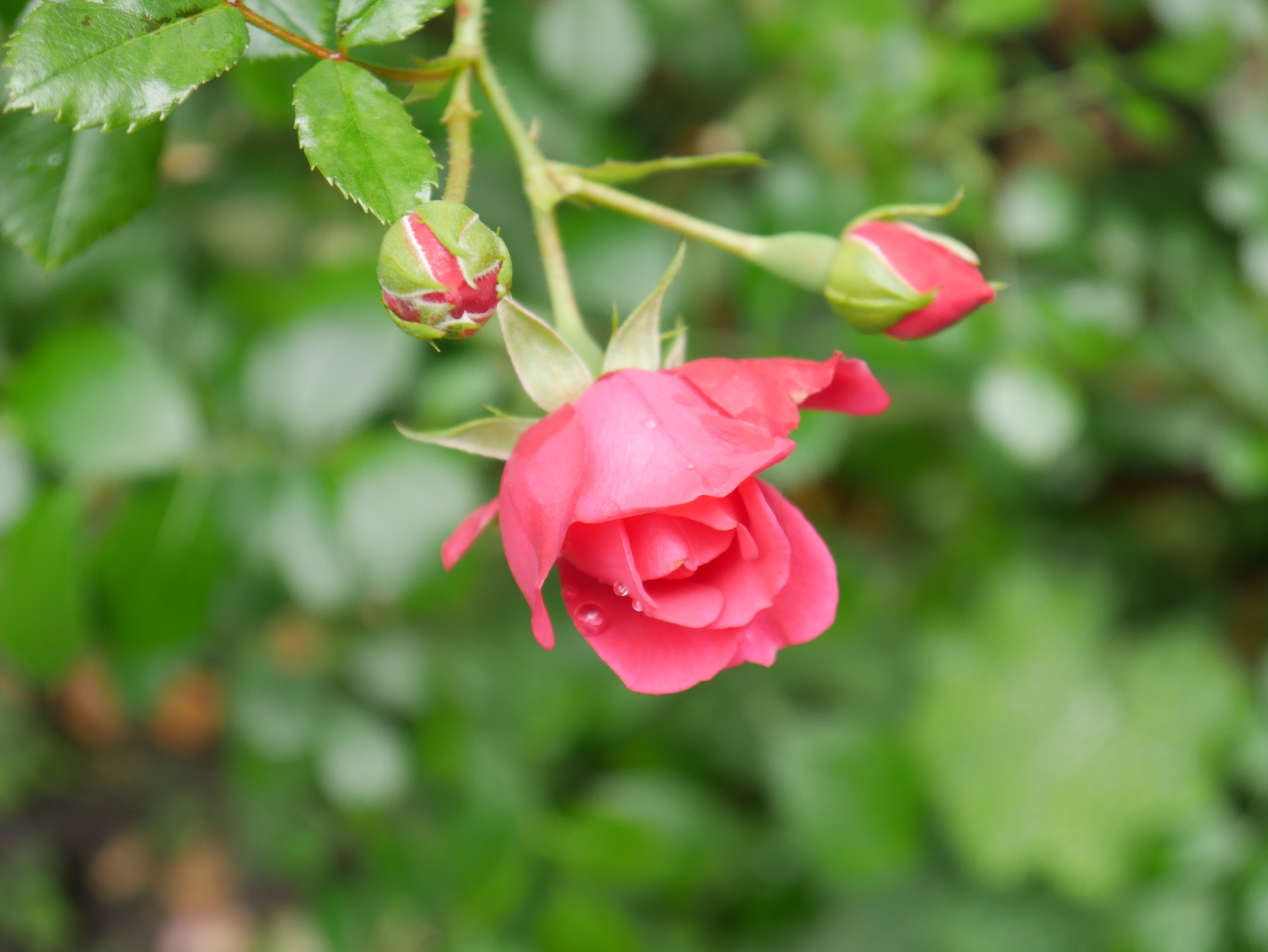 Free stock photo of close-up view, pink, rose, rose bloom