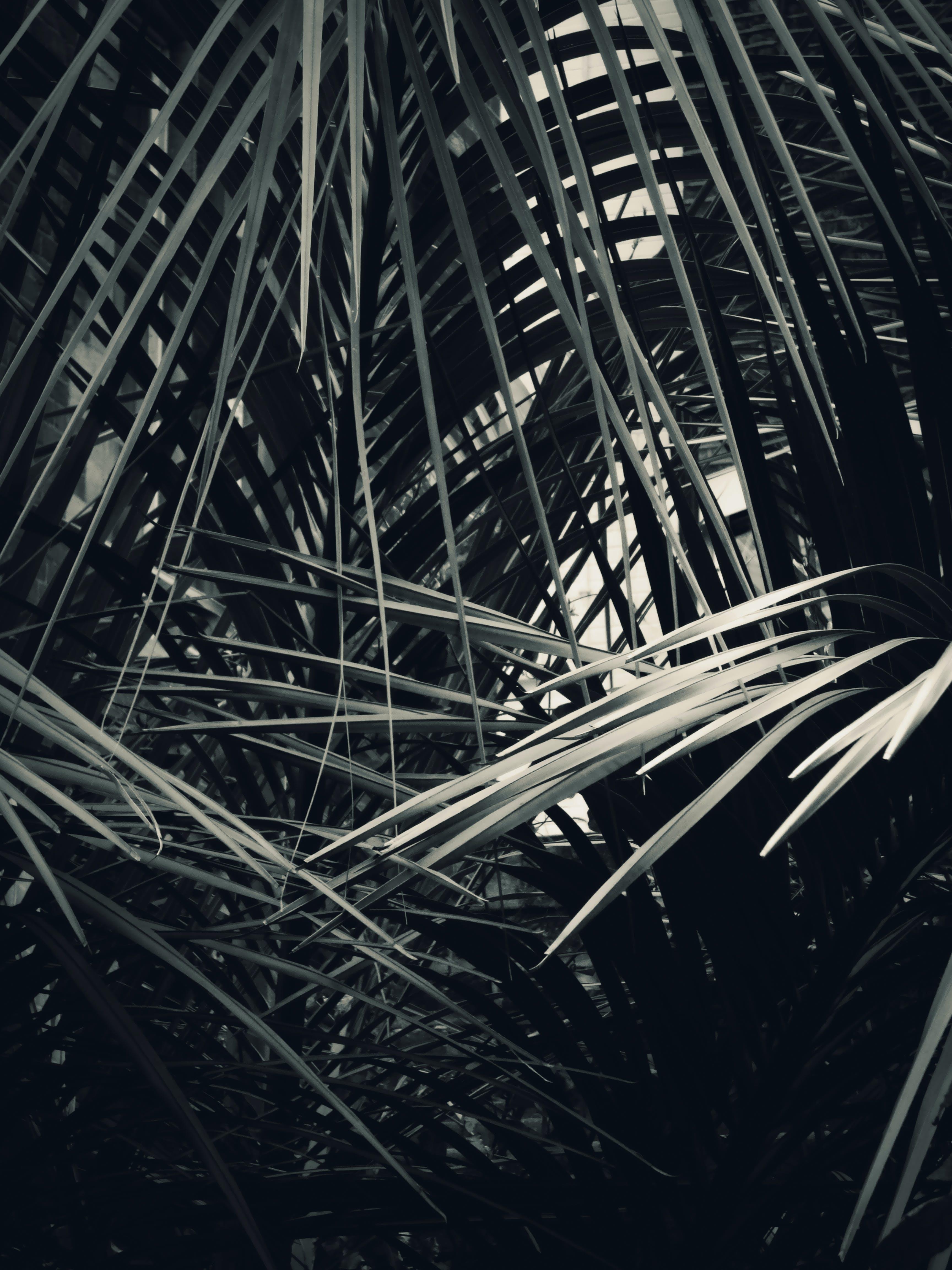 Kostenloses Stock Foto zu palmenblätter, pflanze, schwarz und weiß