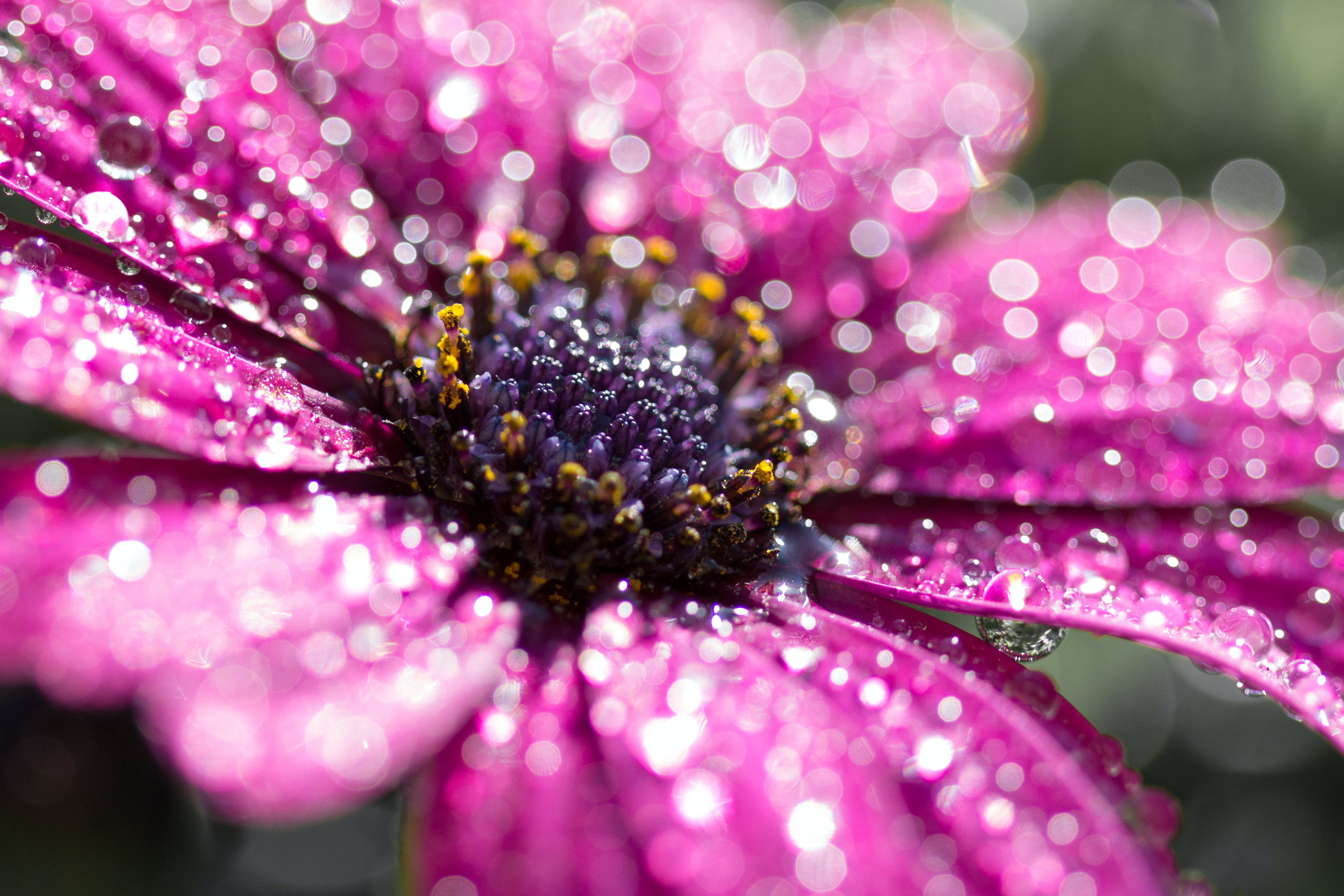 Close-Up Photography Of Pink Osteospermum Flower With Water Dew