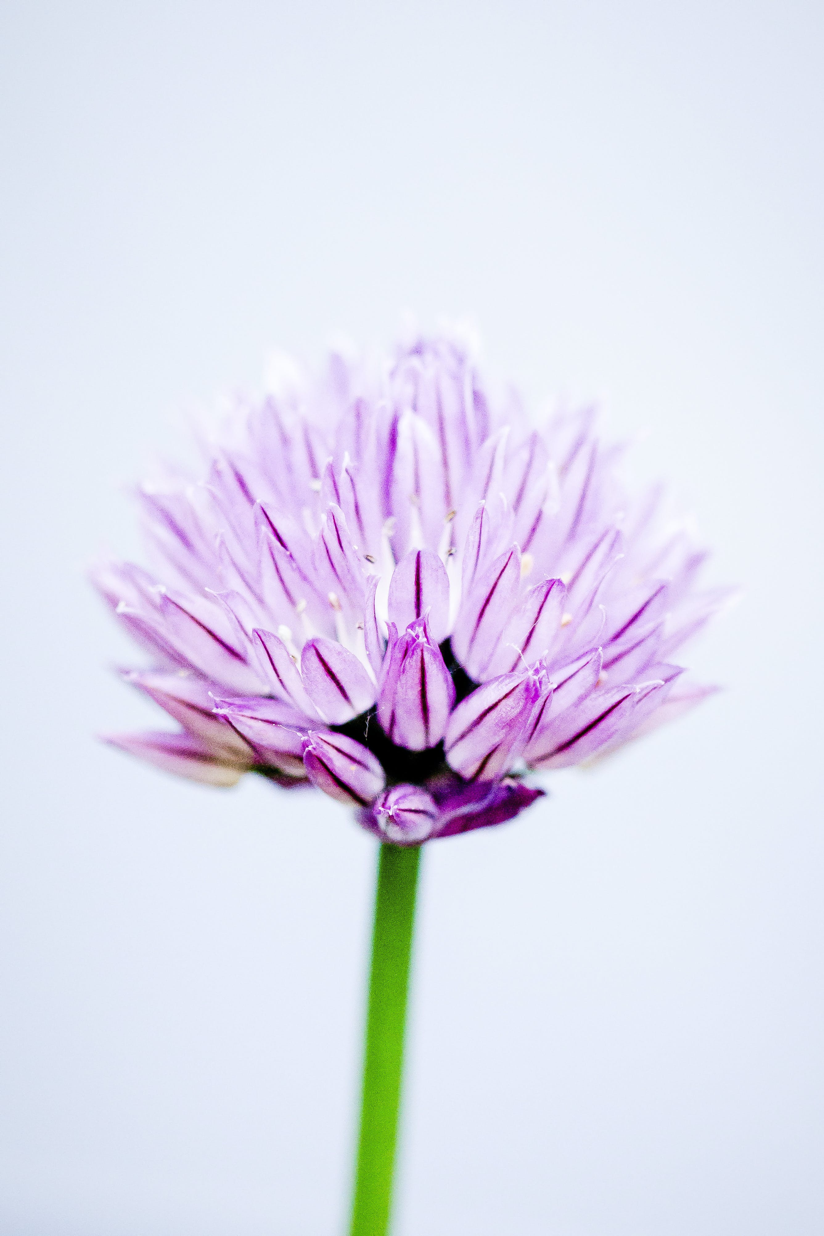 Close-Up Photography Of Pink Allium