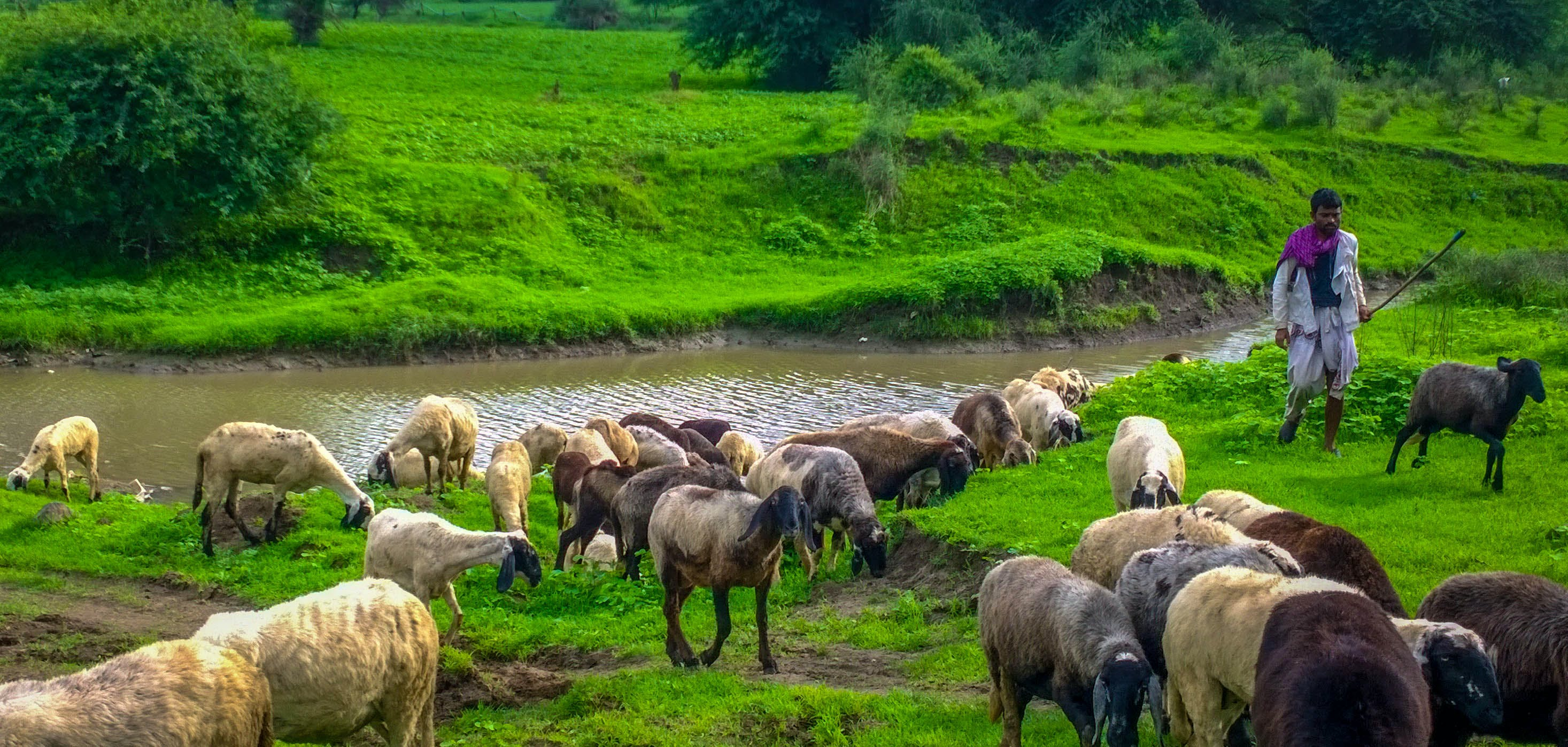 Free stock photo of goat, green, greenlands, india