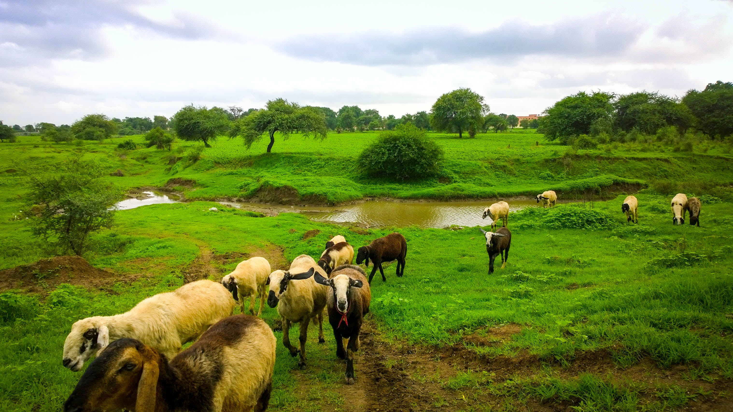 Free stock photo of goats, grasslands, green, india