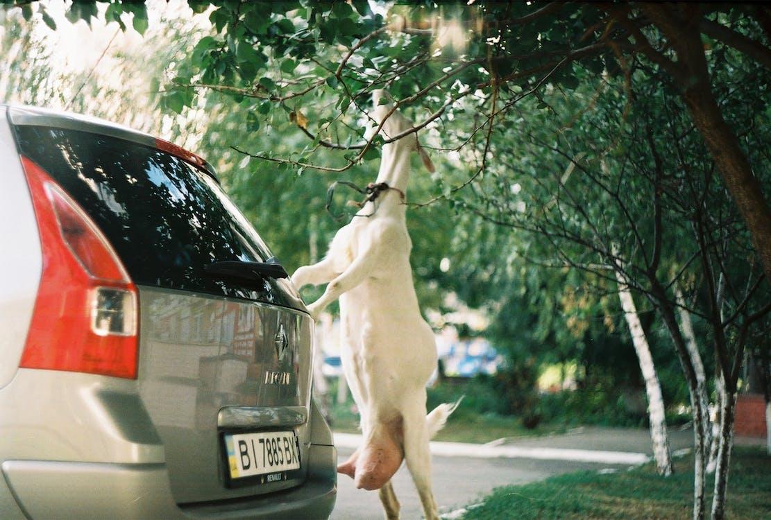 Goat Eating Green Leaves Beside Vehicle