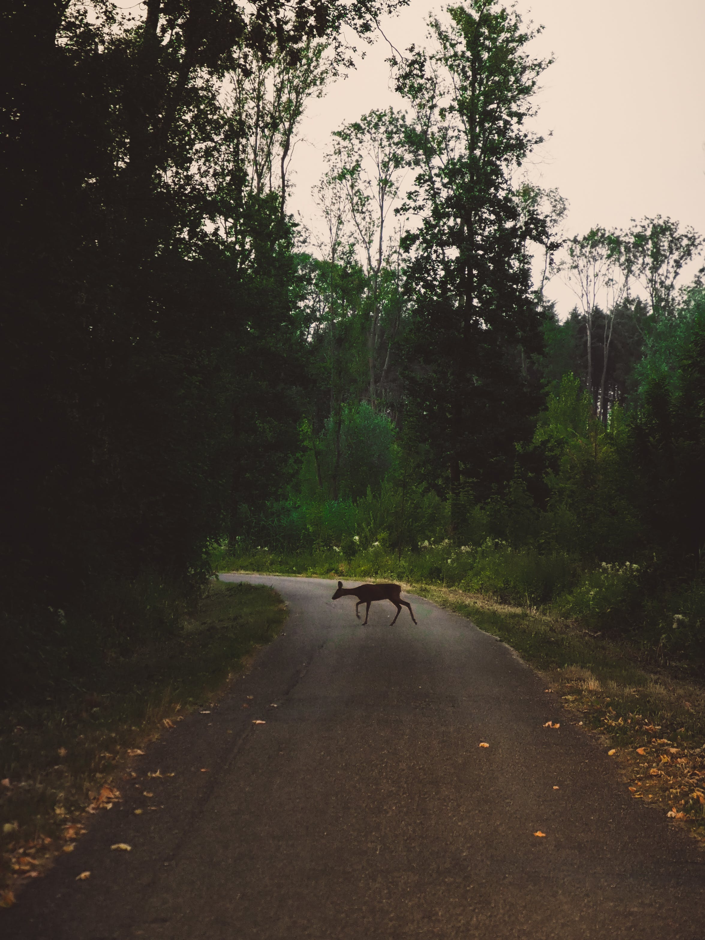 Deer In The Middle Of The Road Between Trees
