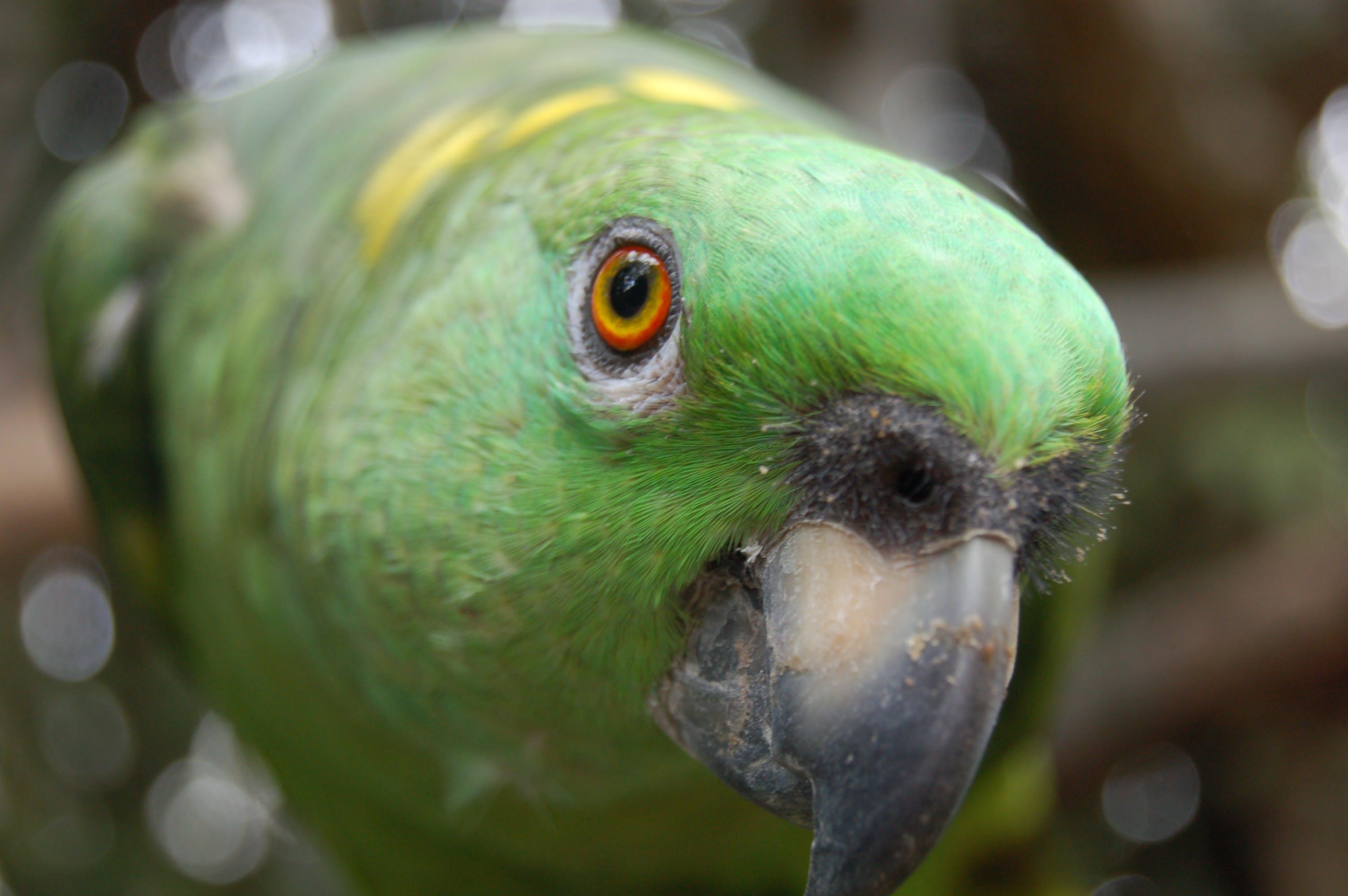 Tilt-shift Lens of Yellow-napped Amazon