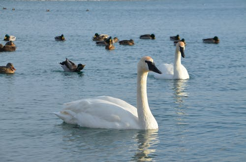 Gratis arkivbilde med #and, #birds, #fugl, #swan