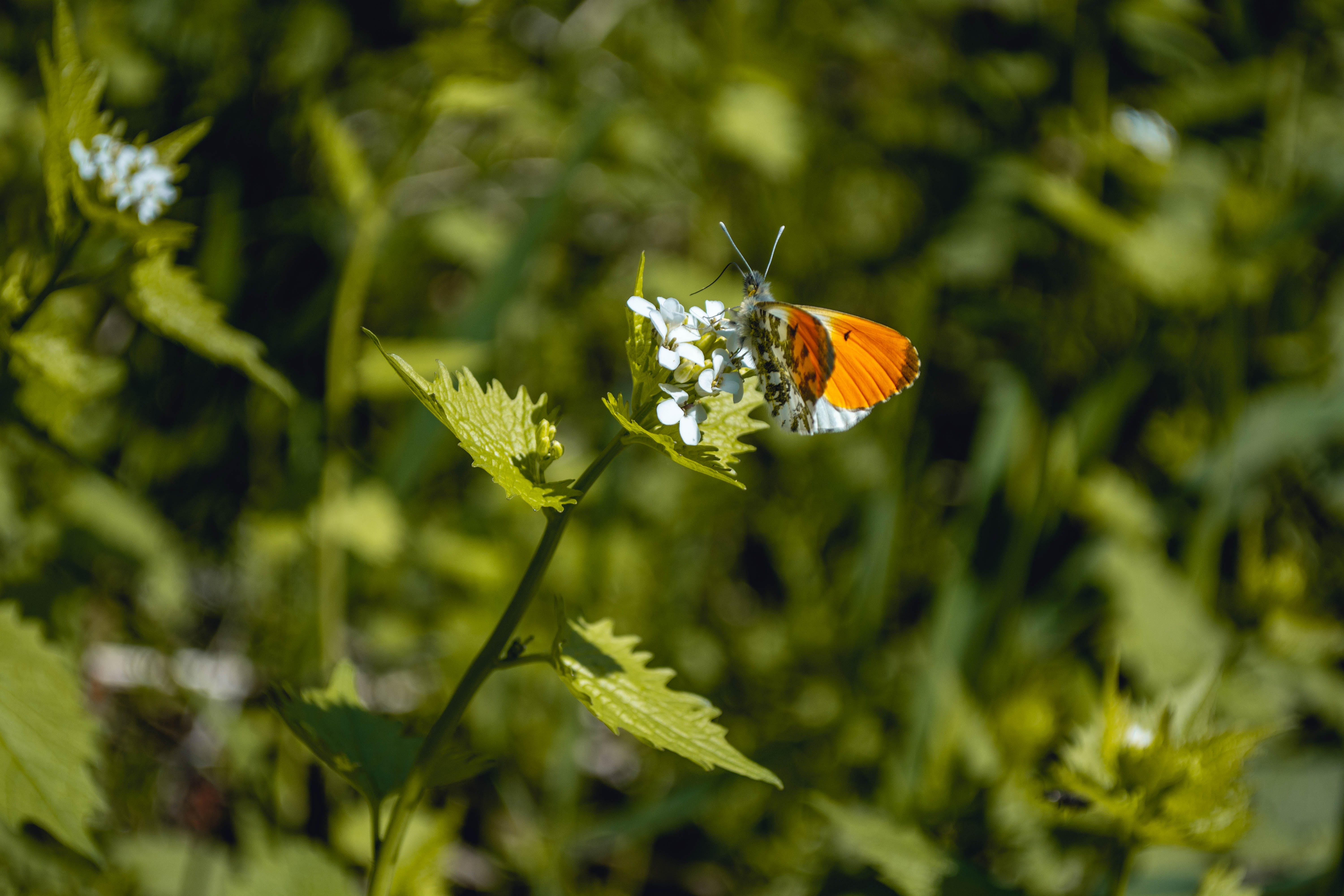 Free stock photo of butterfly, detail, flower, green